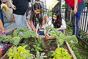 Brooklyn, NY - June 24, 2019: Students at PS 238 in Midwood learn about food and gardening in the container garden supported by Slow Food NYC's Urban Harvest program.<br /> <br /> Photo by Clay Williams.<br /> <br /> © Clay Williams / http://claywilliamsphoto.com