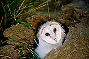 Australian Barn Owl (Tyto delicatula) chick, the most widely distributed species of owl, and one of the most widespread of all birds.  Also known as the Common Barn Owl.