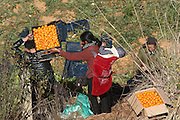 KUNMING, CHINA - JANUARY 13: (CHINA OUT) <br /> <br /> People pick up oranges to carry home as a truck carrying baskets of oranges turns over when driving to a toll station of Kunming Ring Expressway on January 13, 2016 in Kunming, Yunnan Province of China. A truck of carrying oranges turned on its side which attracted surrounding villagers to loot.<br /> ©Exclusivepix Media