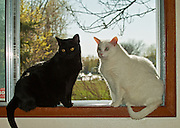 Black and white house cats on window ledge<br /> Winnipeg<br /> Manitoba<br /> Canada