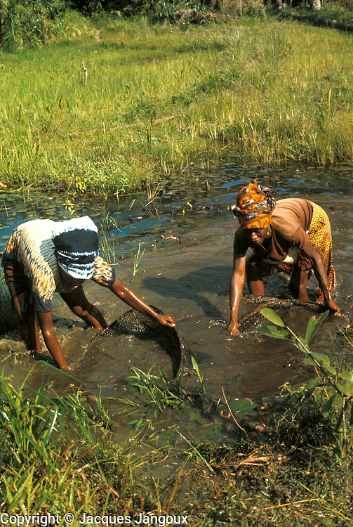 West Africa, Liberia, Kpelle (Guerze) tribe. Women fishing with hand nets in shallow stream.