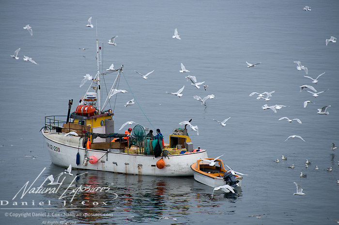 Fisherman from the town of Ilulissat clean their catch of fish, attracting seagulls to feed on the scraps. Greenland.