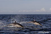 long-beaked common dolphins, Delphinus capensis (formerly lumped with short-beaked common dolphin, Delphinus delphis ); jump sequence, #2 of 3, off San Diego, California, U.S.A. ( eastern Pacific Ocean )