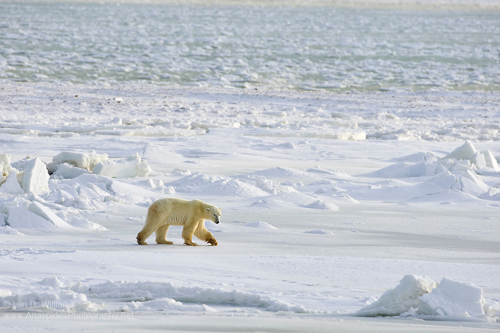 A adult polar bear walks along the snow covered shoreline of Hudson Bay in Canada waiting for the sea ice, visible in the distance, to become more stable