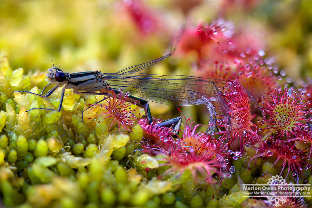 A damselfly in the process of being consumed by a carnivorous sundew plant