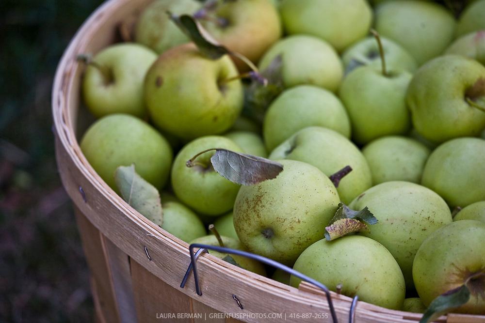A bushell basket of Granny Smith apples.