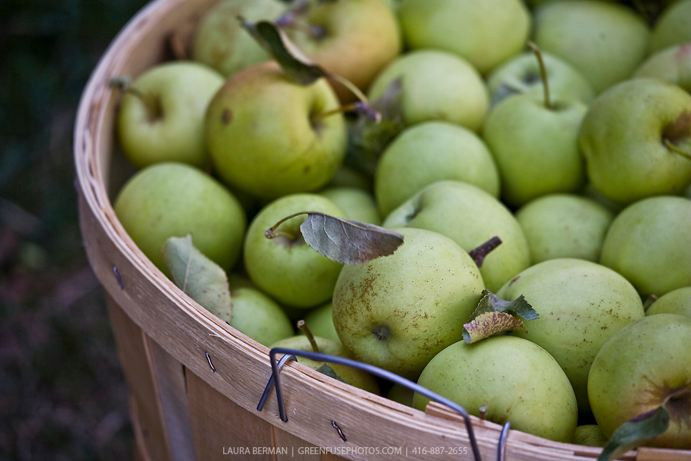 A bushell basket of Granny Smith apples.