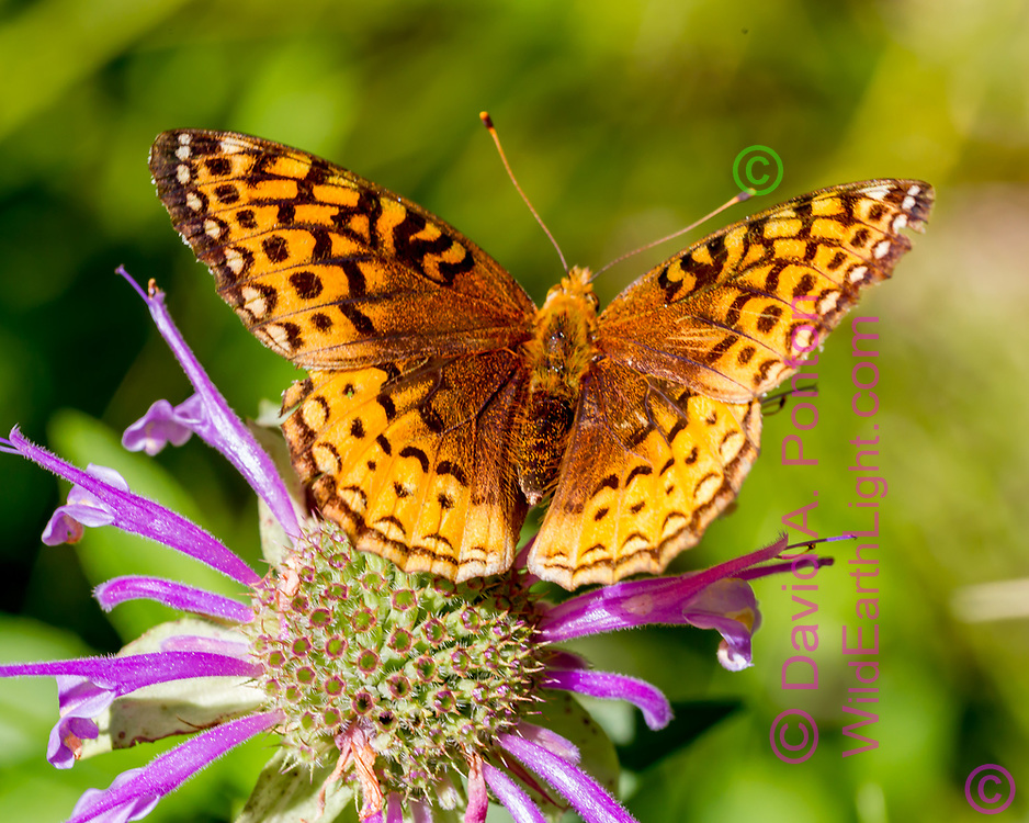 Fritillary butterfly on horsemint blossom, mountain wildflower meadow, Jemez Mountains, NM. © 2010 David A. Ponton