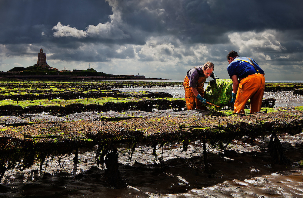 Oystermen tending their oysters at low tide in St. Vaast la Hougue, France, which is situated in the cradle of Normandy's oyster industry.<br /> <br /> The oysters are enclosed in sacks that need regular turning to separate them, and are farmed on either side of the town.