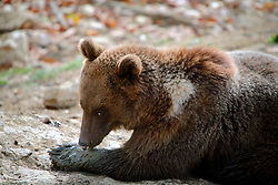 ROMANIA ZARNESTI 27OCT12 - Eurasian brown bear Misha at the Zarnesti Bear Sanctuary in Romania, funded by WSPA...With over 160 acres (70 hectares) spread over a wooded hillside, it is Romania's first bear sanctuary and today houses 67 bears rescued from ramshackle zoos and cages at roadside restaurants.......jre/Photo by Jiri Rezac / WSPA..© Jiri Rezac 2012