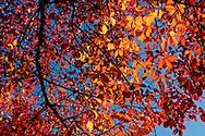 Brilliant coloured autumn leaves on Nyssa sulvatica (tueplo tree) at Westonbirt Arboretum, Tetbury, Gloucestershire, UK