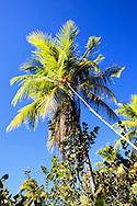 Picking coconuts in Bariay, Holguin, Cuba.