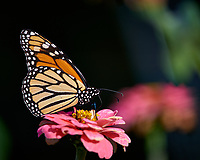 Monarch Butterfly on a Pink Flower. Autumn Backyard Nature in New Jersey. Image taken with a Nikon D810a camera and 300 mm f/4 lens (ISO 200, 300 mm, f/8, 1/500 sec)