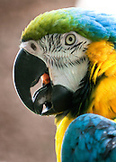 A blue and gold macaw parrot with its mouth open.