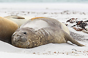 A southern elephant seal (Mirounga leonina) rests on a the beach with a thin sand covering.  The sand acts as barrier to sunburn and also aids in keeping the animal cool during the day