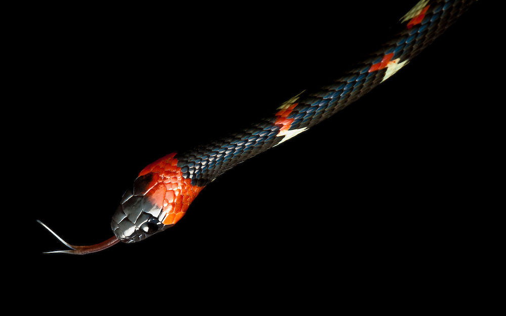 A snake from the genus Dispas.