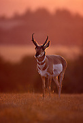 Pronghorn male (Antilocapra americana) at sunset. Hart Mountain National Wildlife Refuge, Oregon.