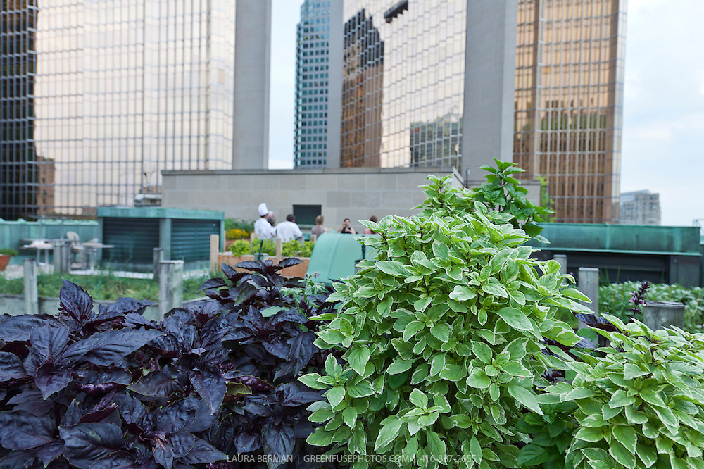 Basil 'Pesto Perpetuo' and purple basil in an urban  rooftop container garden. (Ocimum basilicum citriodorum 'Pesto Perpetuo')
