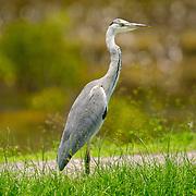 Grey Heron, Ardea cinerea jouyi