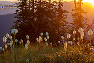 Backlit beargrass on Werner Peak, Stillwater State Forest, Montana, USA