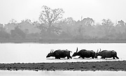 The endangered wild water buffaloes (Bulbalus arnee) wading in Kaziranga National Park, Assam, India.