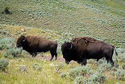 Yellowstone National Park, WY: Wild bison roam throughout this park and can be happened upon at any time.  These fellows are grazing amid the sage and wildgrasses along the road between Cooke City and Tower Junction in the northeast corner of the park, near the Montana boarder.