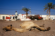 A camel lies at the side of the road resting.Tadjoura,  Republic of Djibouti