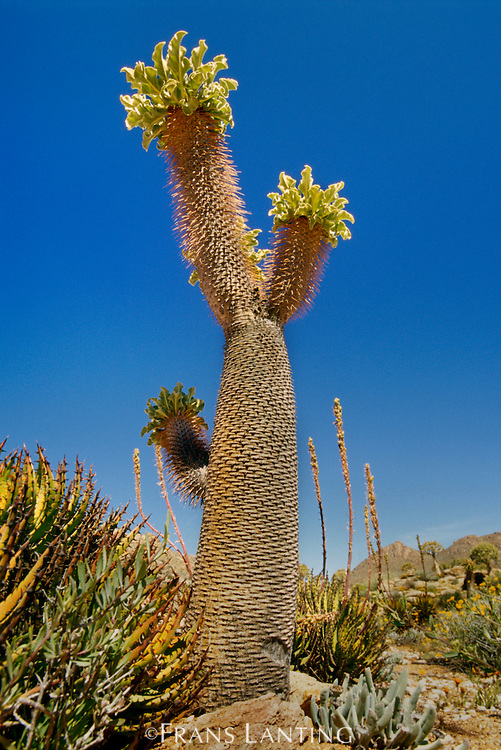 Pachypodium tree, Pachypodium namaquanum, Richtersveld National Park, South Africa