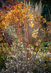 Seedheads in an autumn border. Euphorbia wallichii - Spurge and Lunaria annua - honesty.