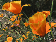I found these intrepid California Poppies growing in a crack in a sidewalk.