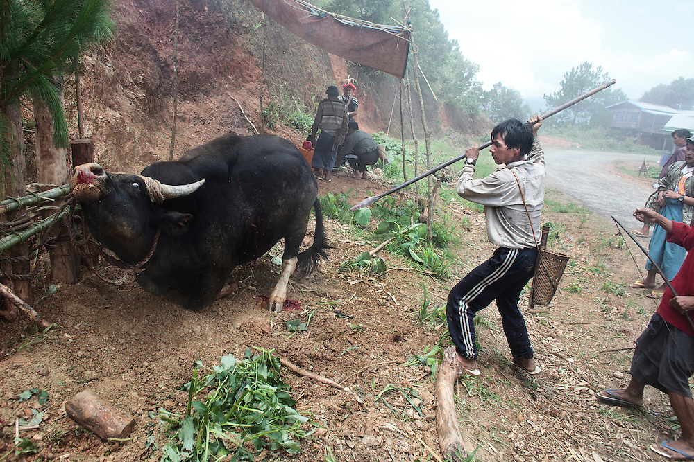 A Christian Catholic man tries to kill a wild ox with a spear during a special ceremony where they offer an animal sacrifice to Jesus Christ to chase away bad spirits in Mindat, Chin state, Myanmar, Friday, 31 May 2013. Chin Christian Catholic people mix their ancient pagan practices with the Christian faith.