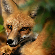 A fox rests under a spruce in my backyard, University Park, Denver, Colorado.