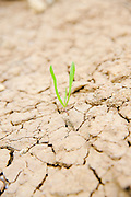 Survival - young shoot grows out of the arid parched ground