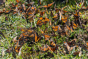 Monarch Butterflies sun on a patch of grass in the forest at the El Capulin Monarch Butterfly Biosphere Reserve in Macheros, Mexico. Each year millions of Monarch butterflies mass migrate from the U.S. and Canada to the Oyamel fir forests in central Mexico.