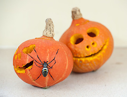 © Licensed to London News Pictures. 20/10/2015. Bristol, UK. Halloween for animals at Bristol Zoo.  An Indian Ornamental spider investigates a pumpkin. Photo credit : Simon Chapman/LNP