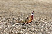 Male ringnecked pheasant in harvested field