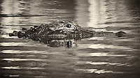 Partially Submerged Alligator in the Front Pond at Clyde Butchers Swamp Gallery -- Big Cypress Swamp in Florida. Image taken with a Nikon Df camera and 80-400 mm VRII lens (ISO 1600, 400 mm, f/5.6, 1/1250 sec). Raw image processed with Capture One Pro (including conversion to B&W).