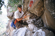Scientist takes care of Griffon Vulture (Gyps fulvus) young chicks in their nest. Photographed in Israel