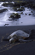 Hawksbill Turtle, Punalu'u Black Sand Beach, Island of Hawaii<br />