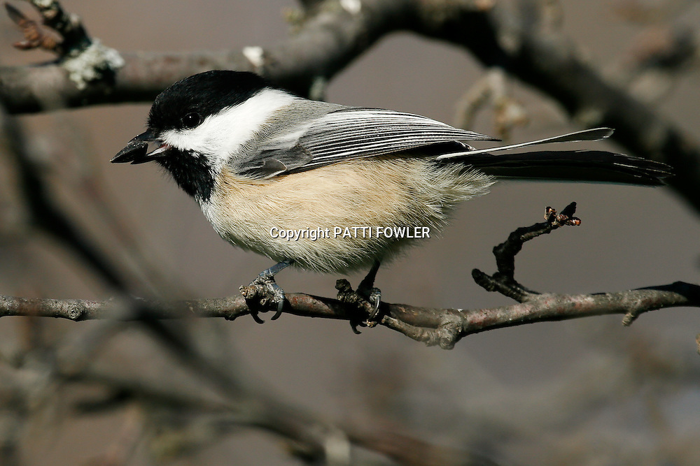 chickadee with sunflower seed in beak