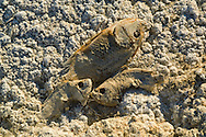Family of dead fish lay along the shoreline of the Salton Sea, Imperial Valley, California