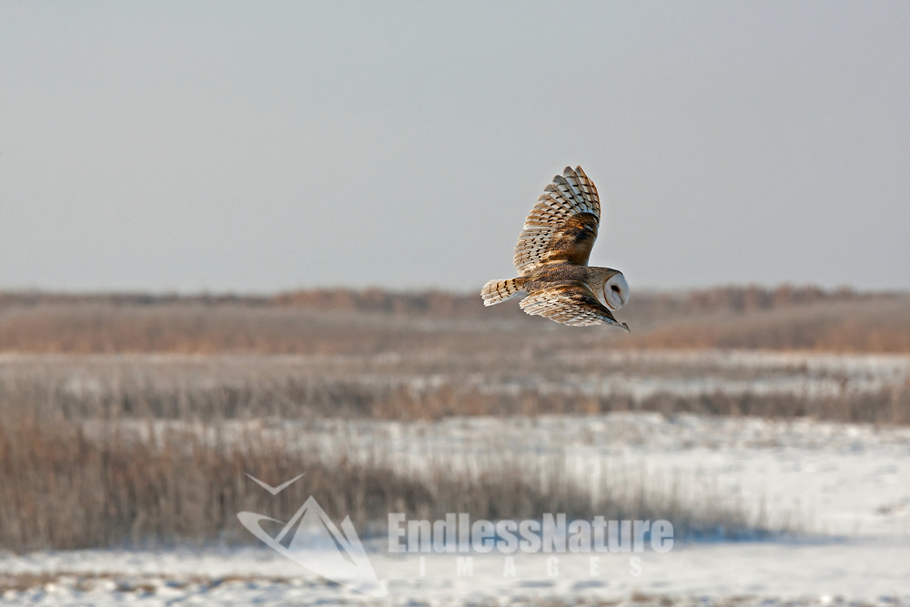 A Barn Owl silently glides over marshland in northern Utah on a January morning.