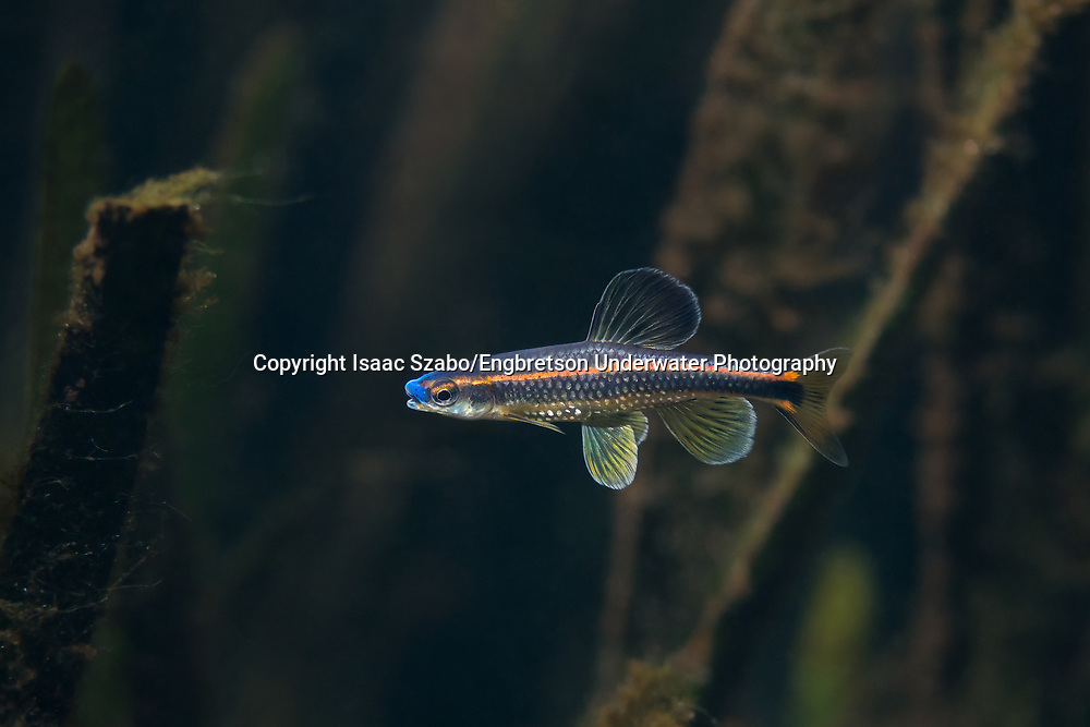 Bluenose Shiner<br />