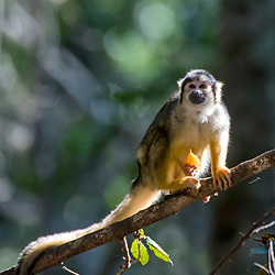 Macaco-de-cheiro (Saimiri boliviensis) fotografado na África do Sul. Registro feito em 2019.<br /> ⠀<br /> ⠀<br /> <br /> <br /> <br /> <br /> ENGLISH: Black-capped squirrel monkey photographed in South Africa. Picture made in 2019.