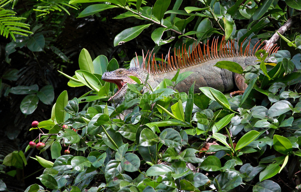 Male Green Iguana (Iguana iguana) yawning. Rainforest, Tortuguero National Park, Costa Rica.<br />