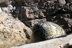 14 May 2013:   Harbor Seal enjoying the water in the seclusion provided by a rock and a branch.This animal is a captive animal and well cared for by a zoo.