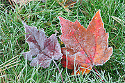 Frost on red maple leaves (Acer rubrum) on grass <br /> Silent Lake Provincial Park<br /> Ontario<br /> Canada