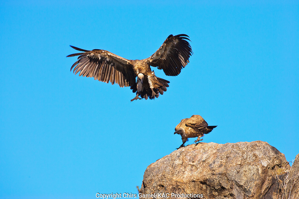 Two White-backed Vultures (Gyps africanus) landing on top of a rock against a blue sky, Serengeti National Park, Tanzania Africa; near threatened species; old world vulture; scavenger; social species