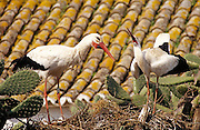 White Stork (Ciconia ciconia) on nest which is on top of a prickly pear bush (Opuntia sp.) in courtship display. Andalucia, Spain.