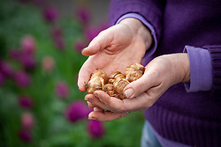 Handful of gladioli bulbs ready to plant out
